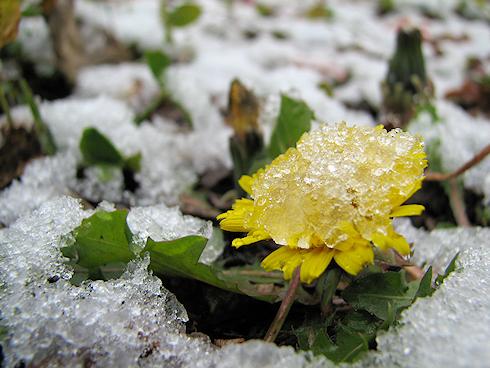 雪をかぶるタンポポ