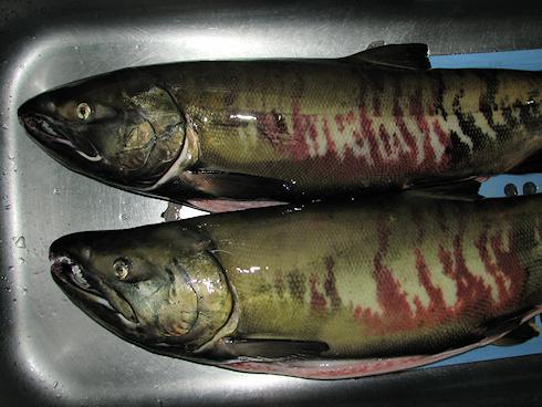 今年も新巻鮭を作る