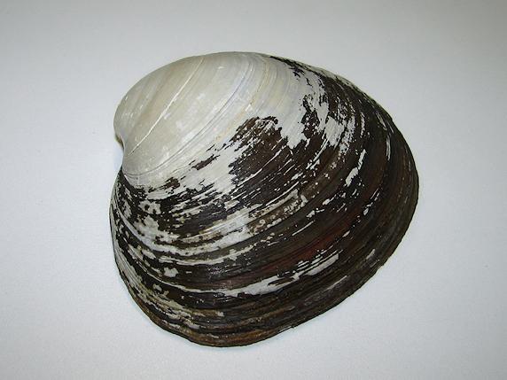ホッキ貝の貝がら
