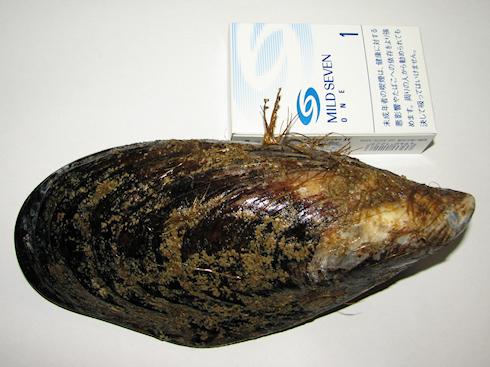 19cmの巨大シュウリ貝