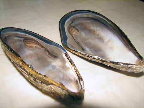 19cmの巨大シュウリ貝の貝殻