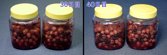 [完成]カリカリ梅と梅シロップづくり〜40日目